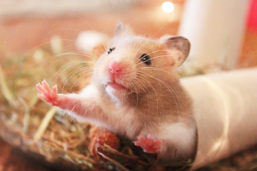 柔軟可愛的「鼠」球! 倉鼠的基本認識與飼養方法