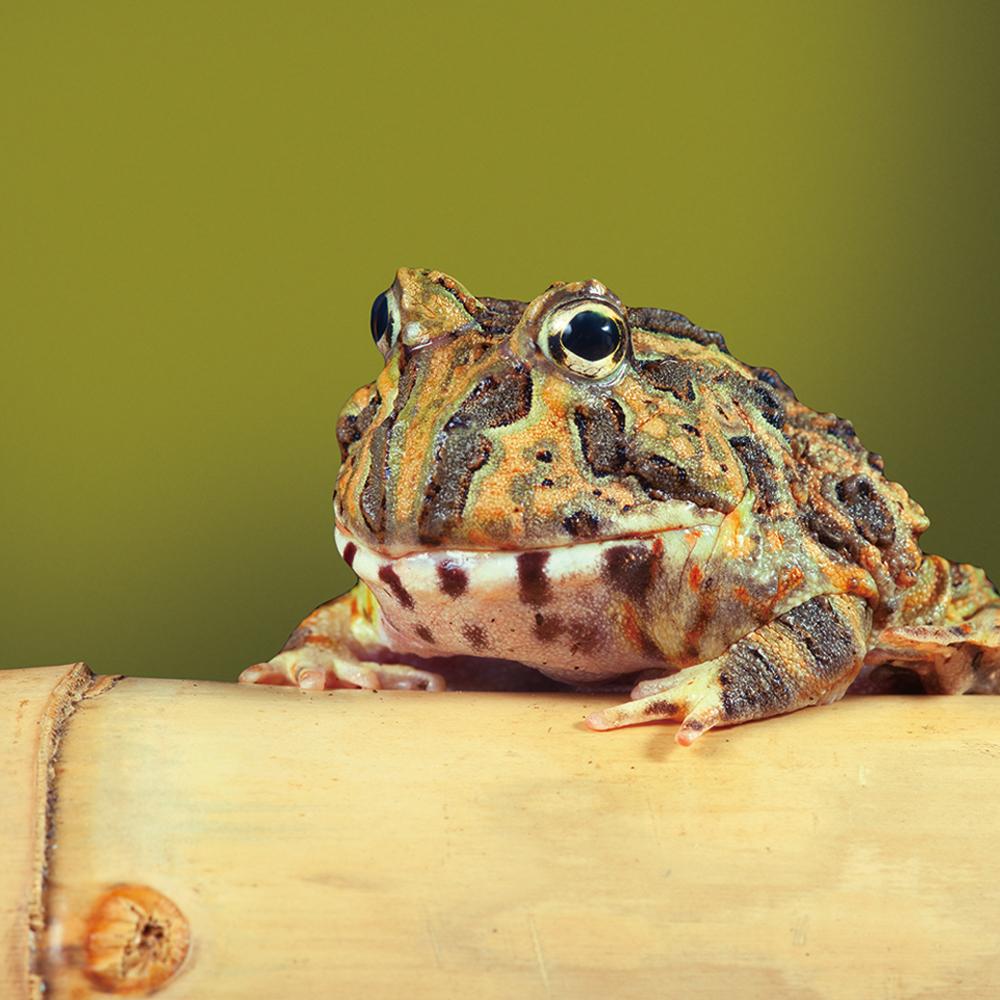 角蛙角蛙呱呱呱!一起來了解角蛙的餵食方法