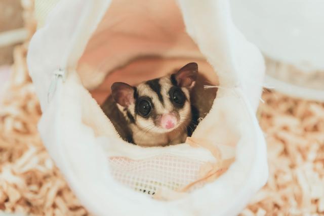 「鼯」憂「鼯」慮的獨家寵兒,蜜袋鼯的飼養方法
